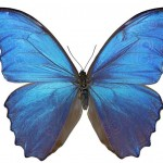 Morpho butterfly; color without pigments