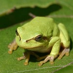tree frog climb wet and dirty surfaces as well as upside down surfaces without falling