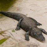 Alligator Blood for Antibiotics